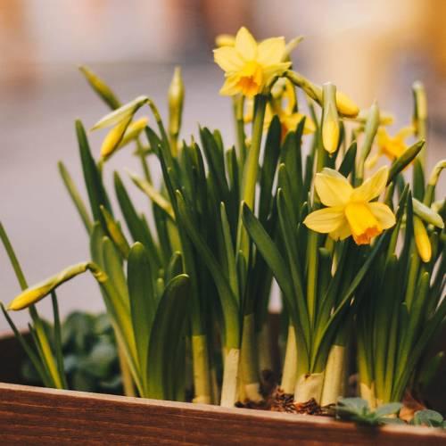 11. apríl – Deň narcisov